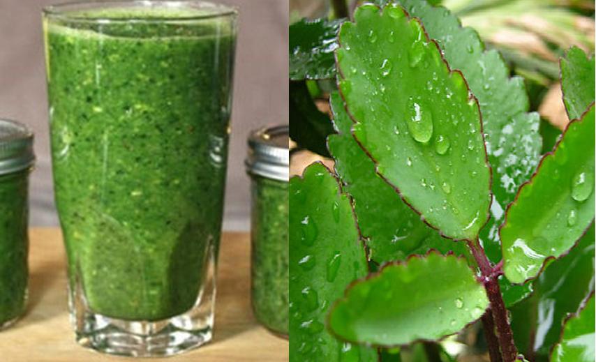 Chữa bệnh trĩ bằng cách uống nước cây lá bỏng