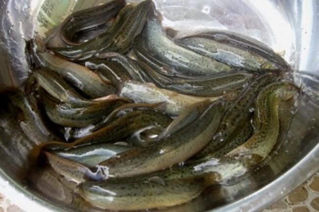 Chăm sóc sức khoẻ: Chữa yếu sinh lý nam bằng cá chạch hiệu quả sau 1 tháng Ca-chach-chua-yeu-sinh-ly-hieu-qua