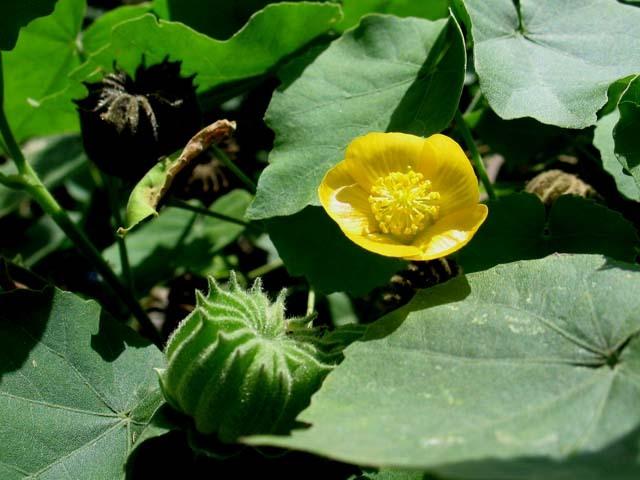 Cách chữa bệnh trĩ bằng thuốc nam từ cây cối xay